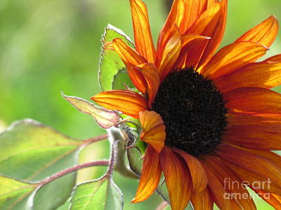 Photograph - Sunflowers  by France Laliberte
