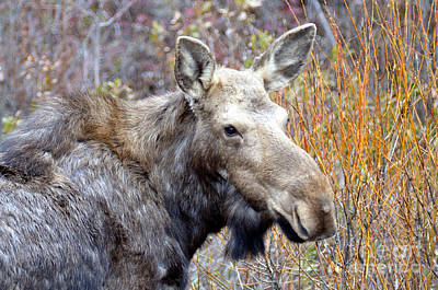 Photograph - 812p Moose by NightVisions