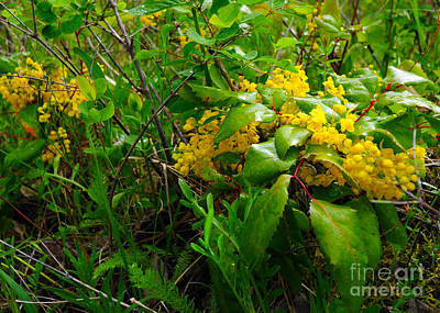 Photograph - 816a Oregon Grape by NightVisions