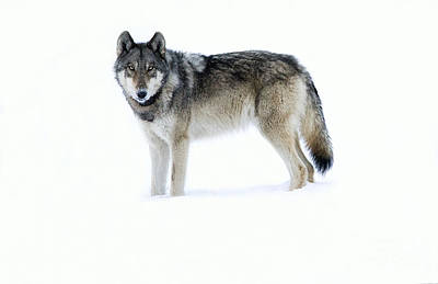 Wolf Wall Art - Photograph - 820f Of The Lamar Canyon Pack by Deby Dixon