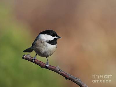 Photograph - Black Capped Chickadee by Jack R Brock