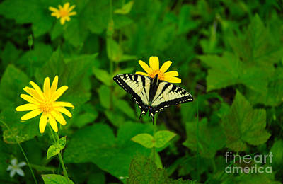 Photograph - 840a Sunflower Family And Swallowtail by NightVisions