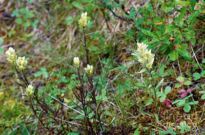 Photograph - 844a Yellow Indian Paintbrush by NightVisions