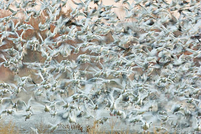 Frenzy Photograph - Usa, New Mexico, Bosque Del Apache by Jaynes Gallery