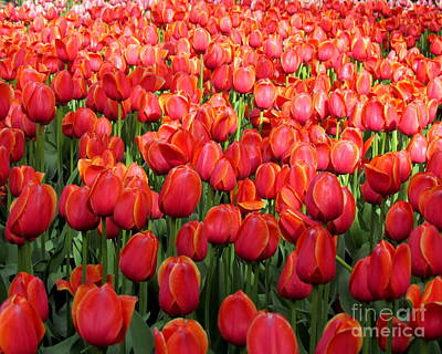 Photograph - Ottawa Tulips Festival by France Laliberte