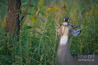 White-tailed Buck Print by Linda Freshwaters Arndt