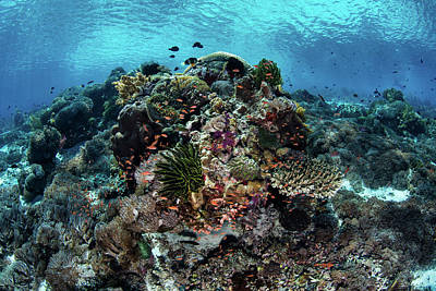 Photograph - A Beautiful Coral Reef Thrives In Alor by Ethan Daniels