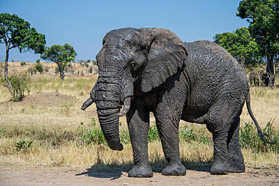 African Elephant Loxodonta Africana Art Print by Panoramic Images