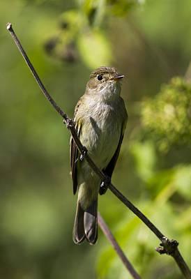 Photograph - Alder Flycatcher by Doug Lloyd