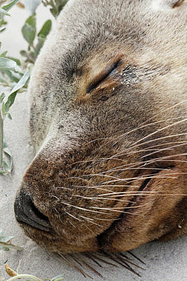 Australian Sea Lion Photograph - Australian Sea Lion (neophoca Cinerea by Martin Zwick
