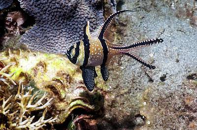 Anthozoa Photograph - Banggai Cardinalfish by Georgette Douwma