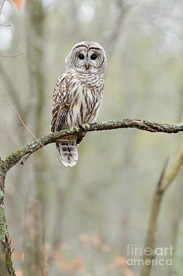 Canadian Wildlife Photograph - Barred Owl by Scott Linstead