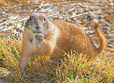 Photograph - Black Tail Prairie Dog by Millard H. Sharp