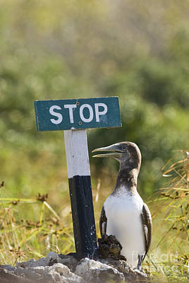 Stop Sign Photograph - Blue-footed Booby by William H. Mullins