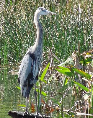 Photograph - Blue Heron by Ron Davidson