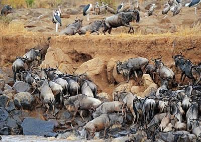 Wildebeest Photograph - Blue Wildebeest Migration by Bildagentur-online/mcphoto-schulz