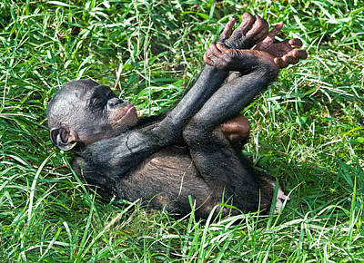 Photograph - Bonobo Baby by Millard H Sharp