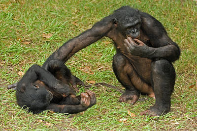 Photograph - Bonobos by Millard H. Sharp