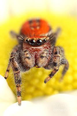 Photograph - Cardinal Jumping Spider by Scott Linstead