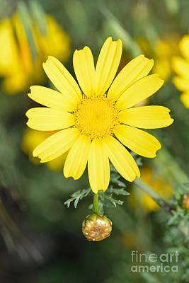 Flora Photograph - Daisy by George Atsametakis