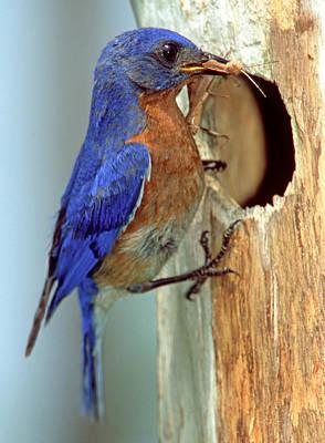 Photograph - Eastern Bluebird by Millard H. Sharp
