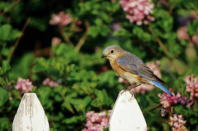Bluebird Photograph - Eastern Bluebird (sialia Sialis by Richard and Susan Day