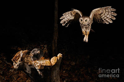 Birds In Flight At Night Photograph - Eastern Screech Owl by Scott Linstead