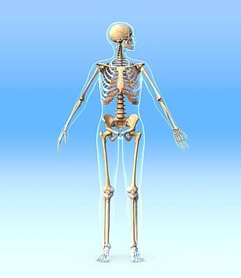 Female Skeleton, Artwork Print by Roger Harris