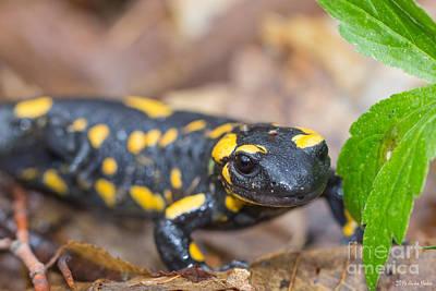 Gaugin Rights Managed Images - Fire Salamander Royalty-Free Image by Jivko Nakev