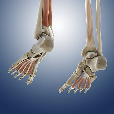Foot Muscles, Artwork Art Print by Science Photo Library
