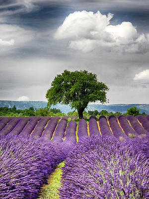 France, Provence, Lone Tree In Lavender Art Print by Terry Eggers