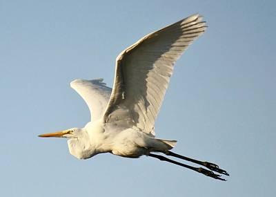 Great White Egret In Flight Art Print by Paulette Thomas