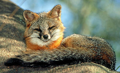 Photograph - Grey Fox Urocyon Cinereoargenteus by Millard H. Sharp