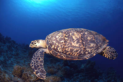 Photograph - Hawksbill Turtle by Charles Angelo