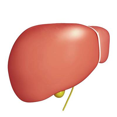 Healthy Liver Art Print by Pixologicstudio/science Photo Library