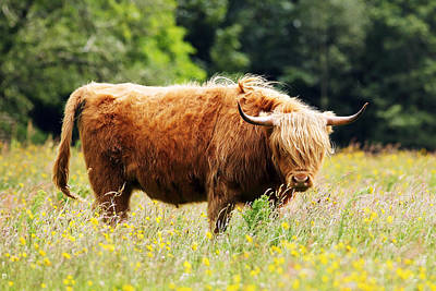 Photograph - Highland Cow by Grant Glendinning