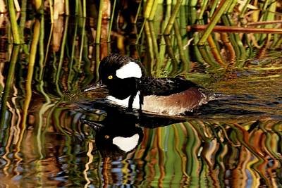 Photograph - Hooded Merganser by Ira Runyan