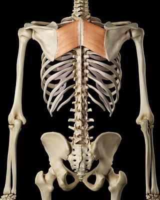Human Back Muscles Art Print