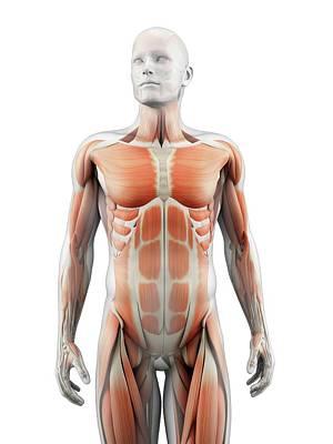 Internal Organs Photograph - Human Muscular System by Sebastian Kaulitzki
