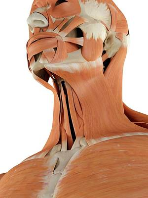 Human Head Photograph - Human Neck Muscles by Sciepro