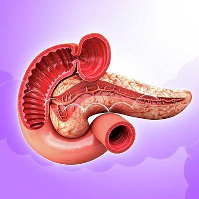 Human Pancreas Art Print by Pixologicstudio