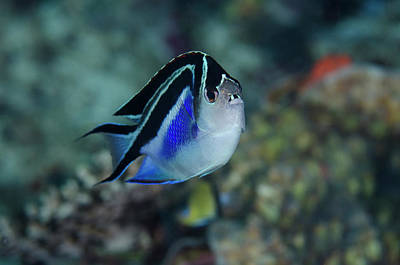 Angelfish Wall Art - Photograph - Indonesia, Papua, Cenderawasih Bay by Jaynes Gallery