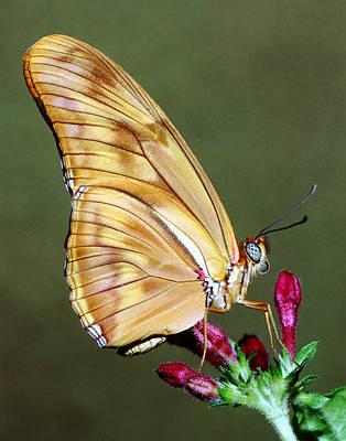 Photograph - Julia Butterfly by Millard H. Sharp