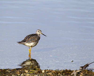 Photograph - Lesser Yellowlegs by Doug Lloyd