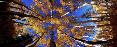 Low Angle View Of Aspen Trees Art Print by Panoramic Images