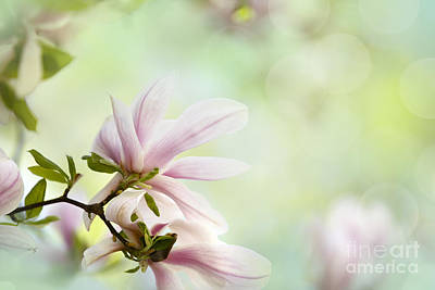 Ornamental Photograph - Magnolia Flowers by Nailia Schwarz