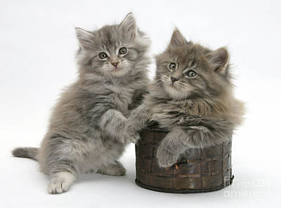 House Pet Photograph - Maine Coon Kittens by Mark Taylor