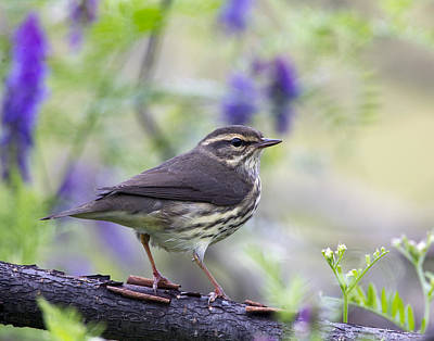 Northern Waterthrush Art Print