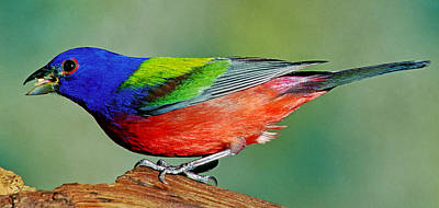 Photograph - Painted Bunting Passerina Ciris by Millard H. Sharp