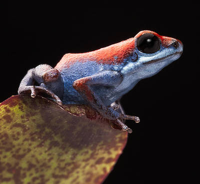 Panama Frog Photograph - Poison Dart Frog by Dirk Ercken